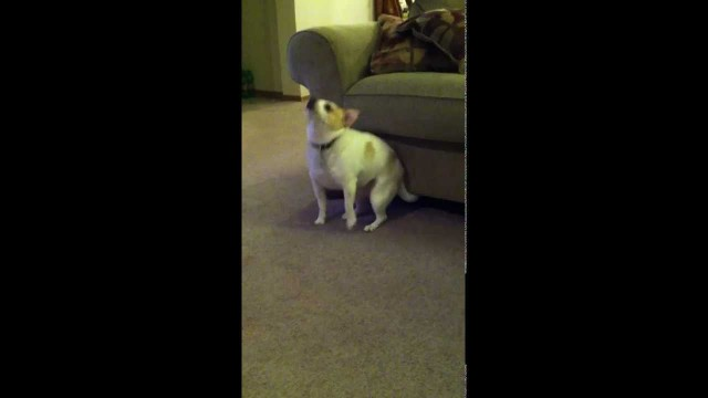 "My Dog ""Dancing"" To Eminem ""Shake That"""