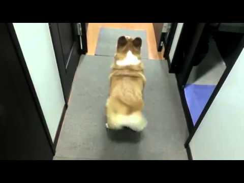 Corgi Twerking   Funny Videos