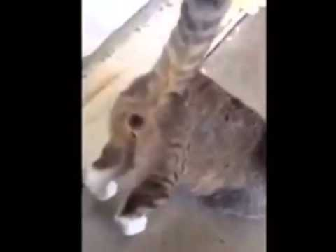 Twerking Cat HAHA-Best Instagram Videos
